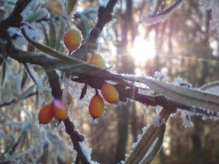Frosthagebutten